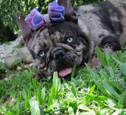 Bulldog buldogue frances TOP  EXOTICOS   Black  MERLE com PEDIGREE