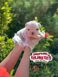 Lindos filhotes de Bulldog Inglês, parcelado sem juros