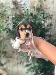 Beagle bicolor e tricolor, garantia de saúde incluso!