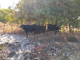 Vendo lote de Gado Búfalo ( 5 Machos e 2 Fêmeas)
