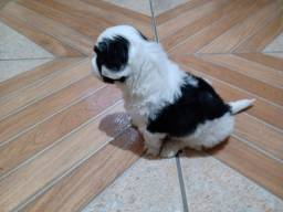 Machinho shih Tzu