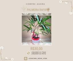 Palmeira Rafis