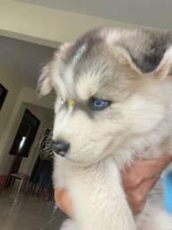 Husky siberiano macho disponível ?