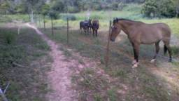 Cavalo mangolino, egua mangalarga, touro holandes e vaca girolanda