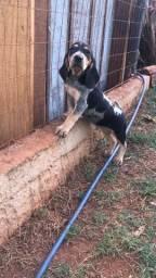 Vende se filhote de Foxhound-americano e azul da gasconha