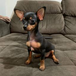 Pinscher miniatura machinho