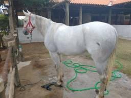 Ègua Mangalarga paulista 8 anos troco por algo do meu interesse