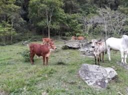 3 novilhas enxertadas de um touro PÓ
