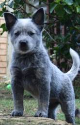 Cães filhotes de Bluee Heeler + pedigree, recibo e garantia