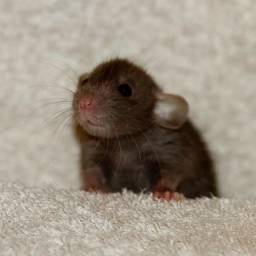Filhos rato twister mercol