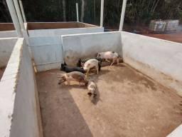 Porco caipira 10 reais kl