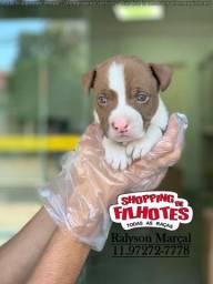 Lindos filhotes de Pitbull, parcelado sem juros