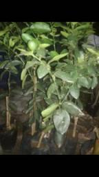 plantas enxertadas de várias espécies