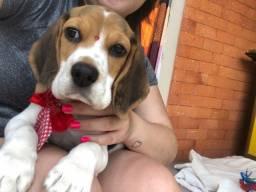 Beagle (filhote)