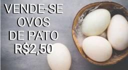 Vende-se Filhotes de Pato e Ovos de Pato