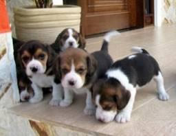 Beagle lindos filhotes entrego hoje ainda