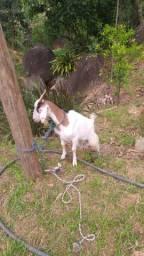 Cabra prenhe