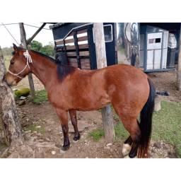Cavalo Campeiro