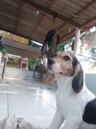 Vendo filhote de Beagle Americano