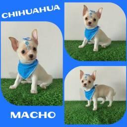 Machinho de Chihuahua no Puppy Stop # Microchipado # Parcelado 12x