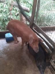 Porco caipira *