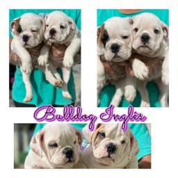 Bulldog ingles com pedigree microchip ate 18x