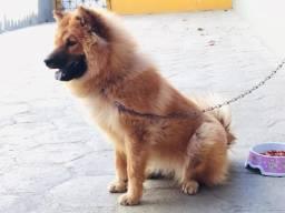 Vendo cadela raça chou-chou, 10 meses