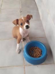 Cachorro filhote Pinscher
