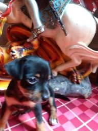 Cachorro Pincher