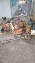 Frangas e galinhas melhorado