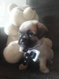 Pug (filhote macho )