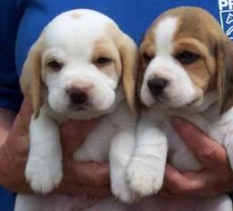 Lindos Beagle Mini Garantia de saúde Pedigree Filhotes