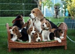 Macho e fêmea de Beagles filhote, com recibo, garantia e pedigree