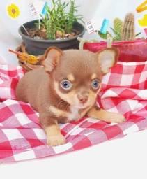 Filhotes de Chihuahua Macho
