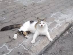 Gatinhas - fêmeas - 2 anos - Castradas