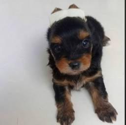 Filhote de yorkshire terrier macho top