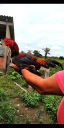 Vendo galos e frangos índio,procedência boa