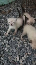 Vendo gatos siamês filhotes