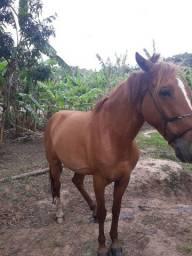 Cavalo baicheiro