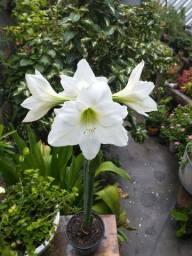 Planta amaryllis