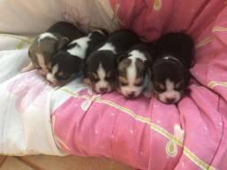 Filhote de beagle para reservar