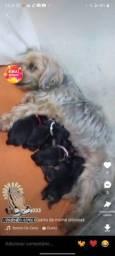 Cachorrinhos York