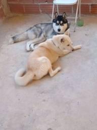 Título do anúncio: Filhotes de husky siberiano disponíveis