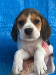 Uma doçura de beagle fêmea