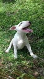 Bull terrier pedigree cbkc
