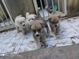 Vendo filhotes de Akita Inu x Husky Siberiano