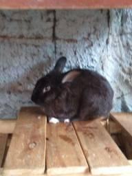 Vendo coelho reprodutor
