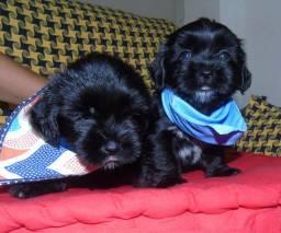 PROMOÇÃO, Lindos filhotes de lhasa Apso BLACK
