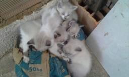 Estou doando uma família de gatinhas siamês