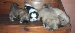 4 filhotes de shih tzu puro